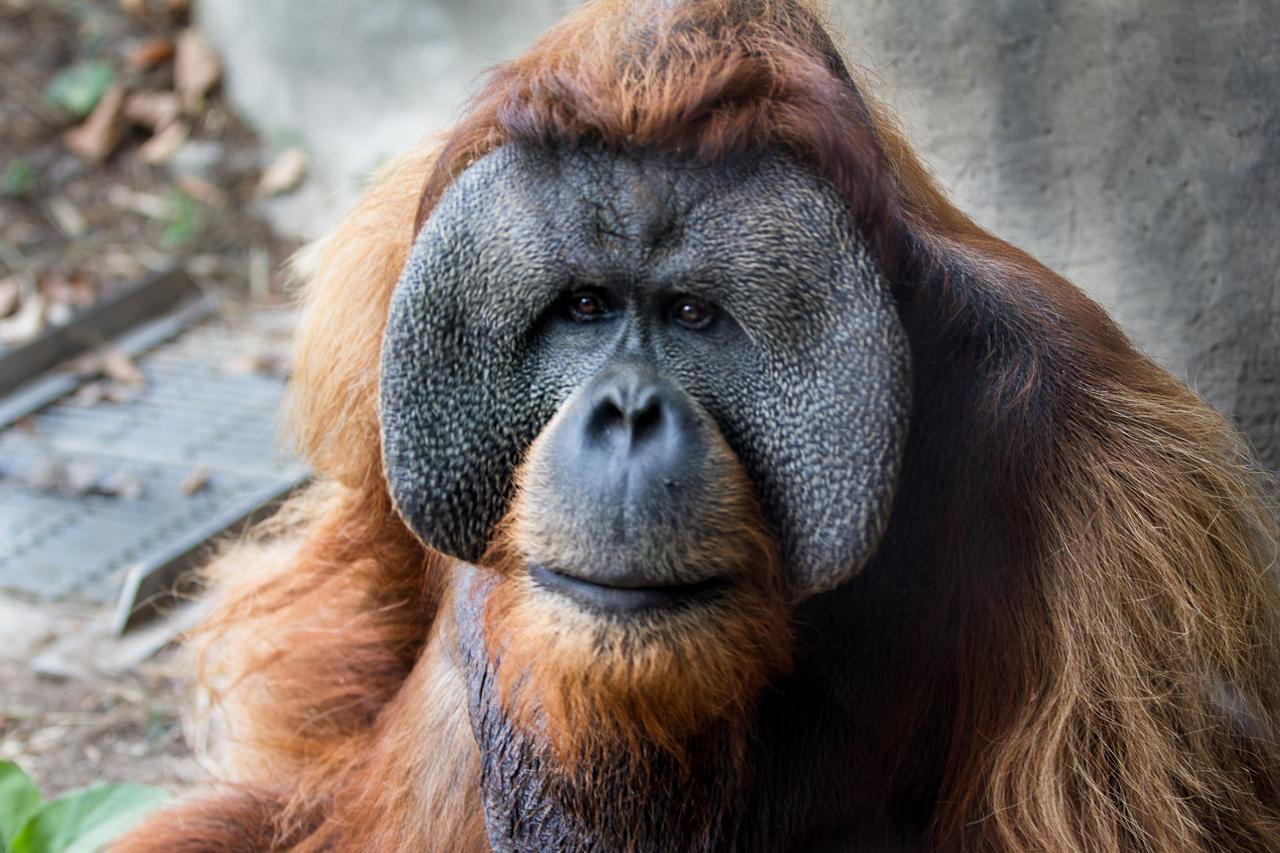 Ksdk Com 23 Year Old Orangutan Dies At St Louis Zoo